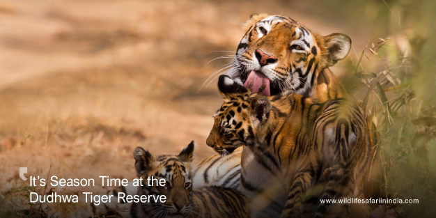 It's Season Time at the Dudhwa Tiger Reserve